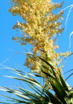 Baerengrass Bluete weiss Nolina longifolia 03