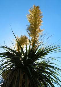 Baerengrass Bluete weiss Nolina longifolia 04