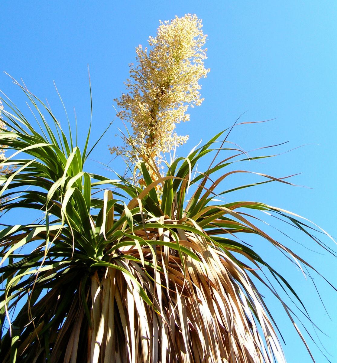Baerengrass Bluete weiss Nolina longifolia