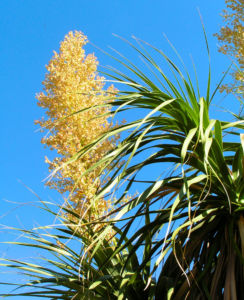 Baerengrass Bluete weiss Nolina longifolia 06
