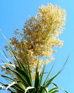 Baerengrass Bluete weiss Nolina longifolia 07