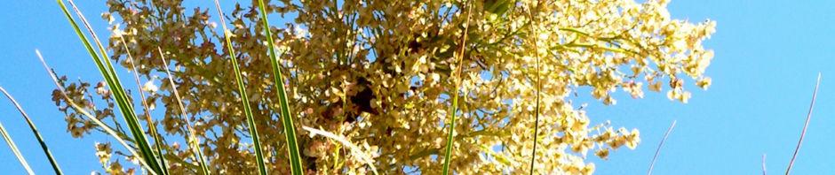 flaschenbaum-oder-elefantenfuss-bluete-weiss-nolina-longifolia