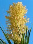 Baerengrass Bluete weiss Nolina longifolia 08 1
