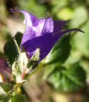 Baertige Glockenblume Bluete lila Campanula barbata 02