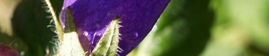 Anklicken um das ganze Bild zu sehen Bärtige Glockenblume Blüte lila Campanula barbata