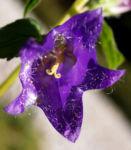 Baertige Glockenblume Bluete lila Campanula barbata 07