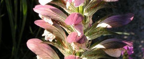 Anklicken um das ganze Bild zu sehen Balkan Akanthus Blüte Dolde pink Acanthus hungaricus