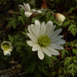 Balkan Anemone Anemone blanda 01