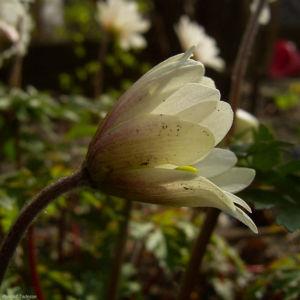 Balkan Anemone Anemone blanda 03