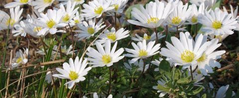 Anklicken um das ganze Bild zu sehen Balkan-Windröschen Blüte weiß Anemone blanda