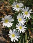 Balkan Buschwindroeschen Bluete weiss Anemone blanda 06