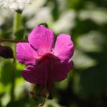 Balkan Storchschnabel Bluete pink Geranium macrorrhizum 01