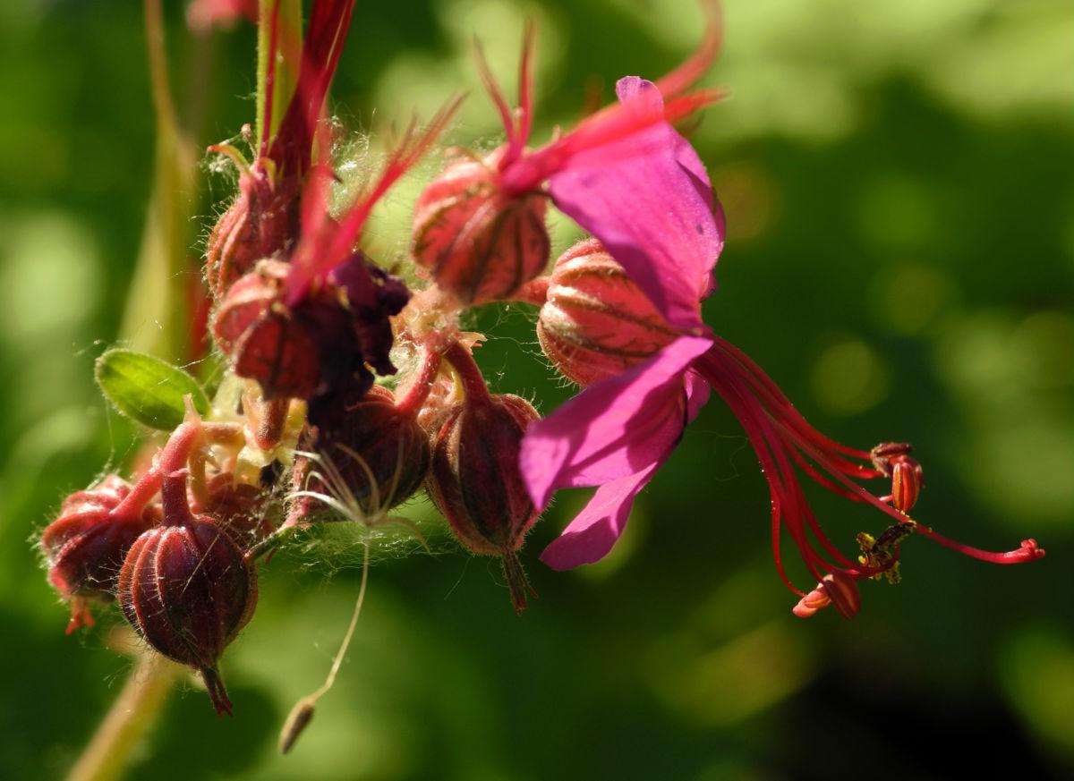 Balkan Storchschnabel Bluete pink Geranium macrorrhizum