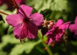 Balkan Storchschnabel Bluete pink Geranium macrorrhizum 03