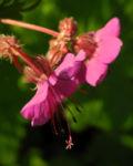 Balkan Storchschnabel Bluete pink Geranium macrorrhizum 05