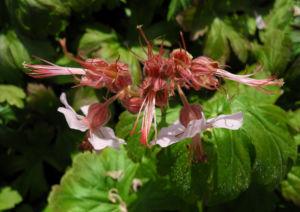 Balkan Storchschnabel Bluete rose Geranium macrorrhizum 02