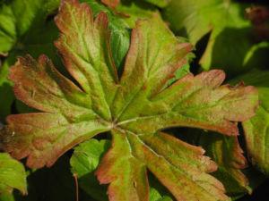 Balkan Storchschnabel Bluete rose Geranium macrorrhizum 07