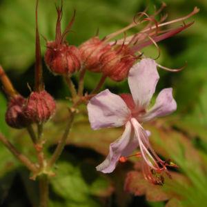 Balkan Storchschnabel Bluete rose Geranium macrorrhizum 08