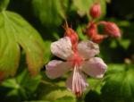 Bild:  Balkan-Storchschnabel Blüte rose Geranium macrorrhizum