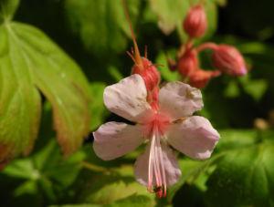 Balkan-Storchschnabel Blüte rose Geranium macrorrhizum