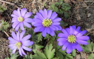 Balkan Windroeschen Bluete blau Anemone blanda 01
