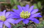 Balkan Windroeschen Bluete blau Anemone blanda 05