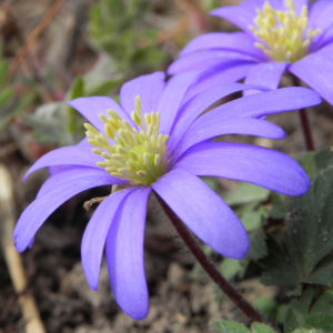 Balkan Windroeschen Bluete blau Anemone blanda 06