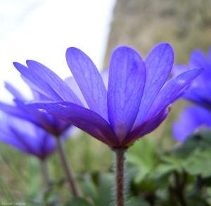 Balkan Windroeschen blau Anemone blanda 03