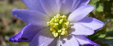 Anklicken um das ganze Bild zu sehen Balkan-Windröschen Blüte hellblau Anemone blanda