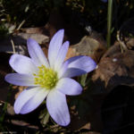 Balkan Windroeschen hellblau Anemone blanda 03