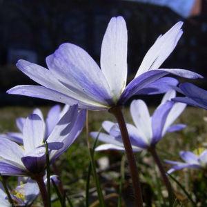 Balkan Windroeschen hellblau Anemone blanda 04
