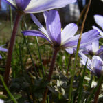Balkan Windroeschen hellblau Anemone blanda 05