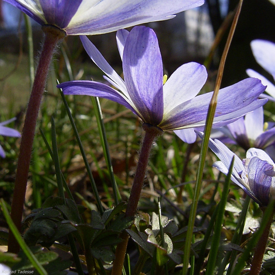 Balkan Windroeschen hellblau Anemone blanda