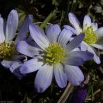 Balkan Windroeschen hellblau Anemone blanda 06