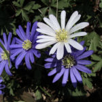 Balkan Windroeschen weiss Anemone blanda 00 7
