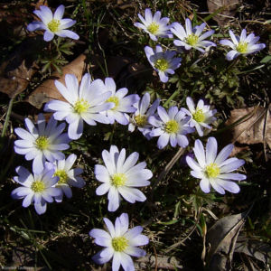 Balkan Windroeschen Anemone blanda 01