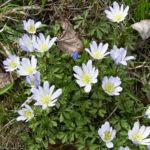 Bild: Balkan Windröschen Blüte weiß Anemone blanda
