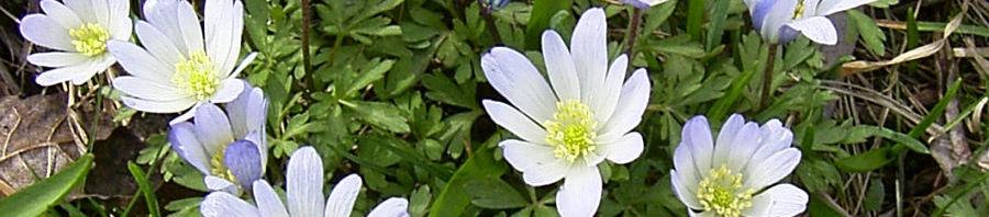 Anklicken um das ganze Bild zu sehen Balkan Windröschen Blüte weiß Anemone blanda