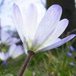 Balkan Windroeschen Anemone blanda 04