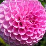 Ball Dahlie Bluete pink Dahlia 01
