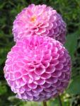 Ball Dahlie Bluete pink Dahlia 02