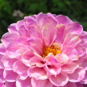 Ball Dahlie Bluete pink Dahlia 03