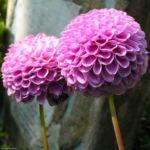 Ball Dahlie Bluete pink Dahlia 04 2