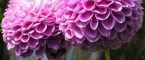 Anklicken um das ganze Bild zu sehen Ball Dahlie Blüte pink Dahlia