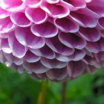 Ball Dahlie Bluete pink Dahlia 05