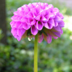 Ball Dahlie Bluete pink Dahlia 06