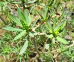 Balsam Wolfsmilch Bluete gelb gruen Euphorbia balsamifera 03Balsam Wolfsmilch Blatt gruen Euphorbia balsamifera 03