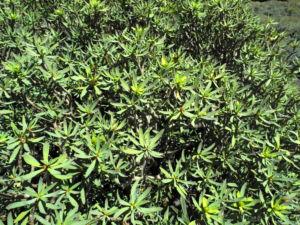 Balsam Wolfsmilch Bluete gelb gruen Euphorbia balsamifera 04Balsam Wolfsmilch Blatt gruen Euphorbia balsamifera 04