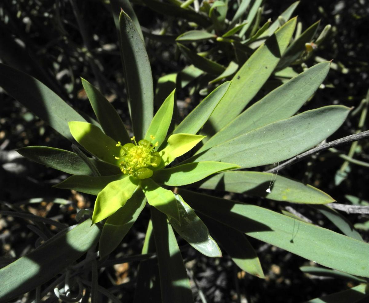 Balsam Wolfsmilch Bluete gelb gruen Euphorbia balsamifera