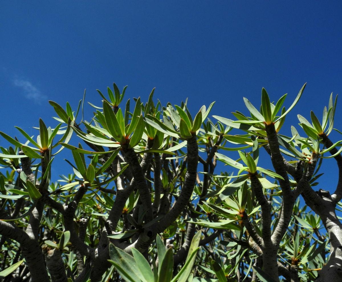 Balsam Wolfsmilch Bluete gelb gruen Euphorbia balsamifera 08Balsam Wolfsmilch Blatt gruen Euphorbia balsamifera